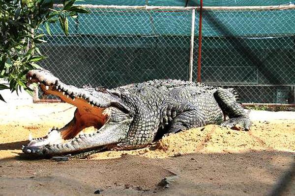 پرورش-تمساح-در-پارک- کروکودیل نوپک قشم